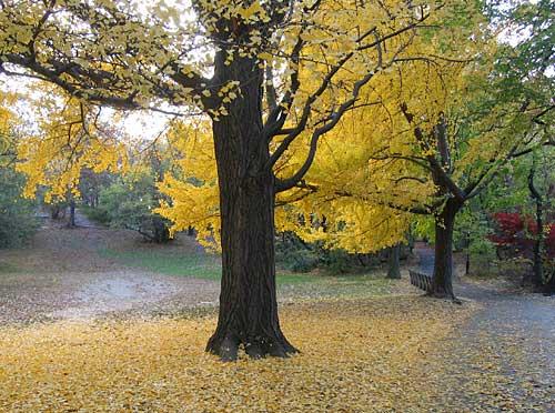 Gingko Central Park